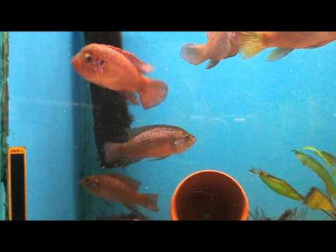 Jewel Cichlids Feeding on Hyalella Azteca