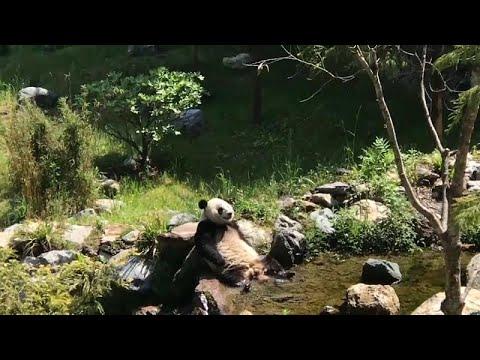شاهد : الباندا تواجه حرارة الصيف بالاستجمام في الماء المنعش …  - نشر قبل 4 ساعة