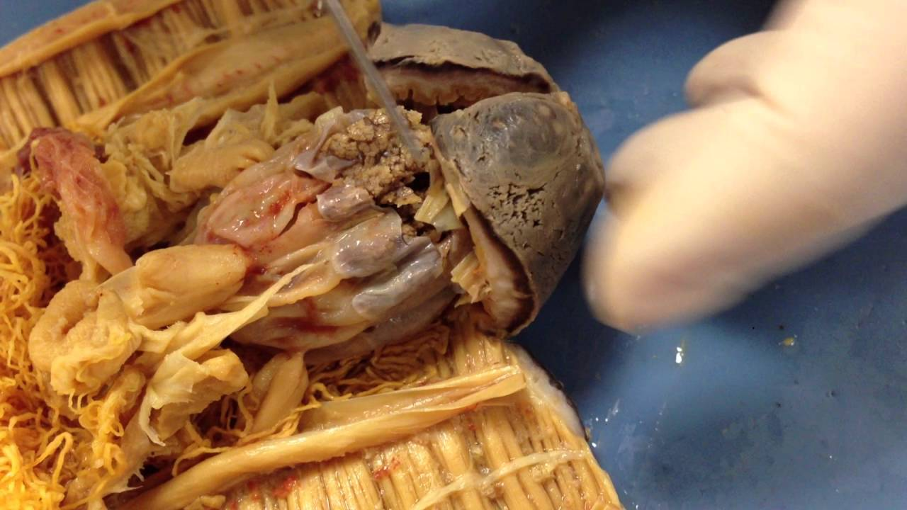 Sea Cucumber Dissection - YouTube