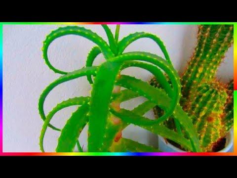 Алоэ полезное растение Как я использую алоэ