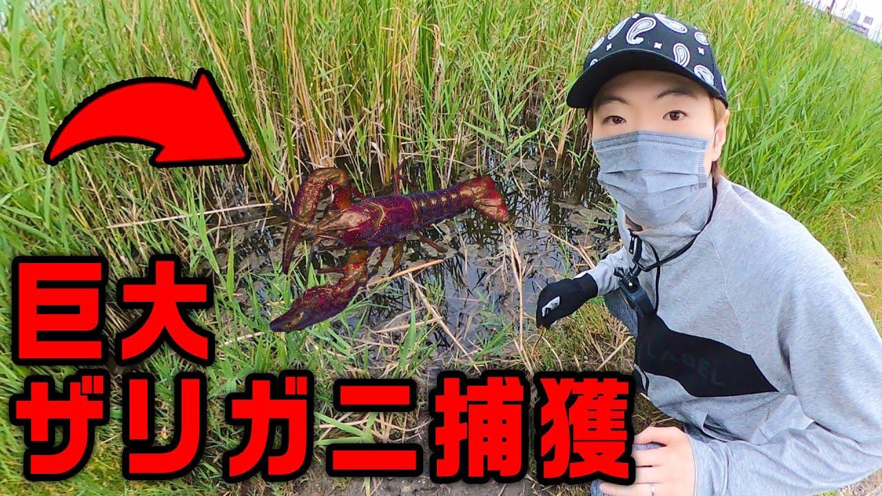 野生の巨大ザリガニの捕獲に成功するザリガニハンターセイキン!!