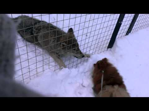 Собака и волк. Dog and wolf.