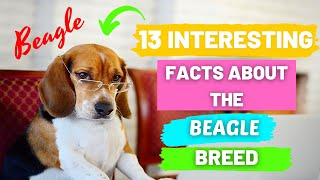 13 Interesting Facts About the BEAGLE Breed  Information About Beagle  Beagle Dog