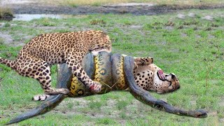 ЛЕОПАРД ПРОТИВ ПИТОНА! Самые Удивительные Схватки Диких Животных