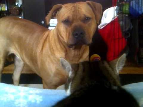 American Pitbull Terrier and Cat talking