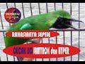 Rahasianya Agar Cucak Ijo Jamtrok Dan Hyper  Mp3 - Mp4 Download