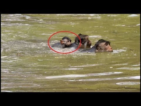 Baby Monkey Nearly Dies Because His Mom Teaching Swimming, Pity Baby Monkey, TM #160