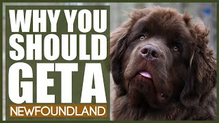 5 Reasons Why YOU SHOULD Get A NEWFOUNDLAND