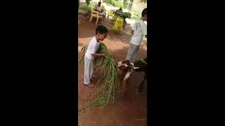 Bakra and kids in Punjab Pakistan for EID