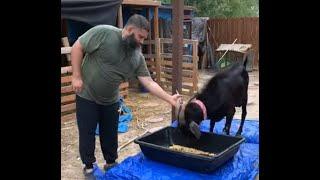 Halal Goat Slaughter
