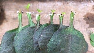 Como Plantar Folhas de Kalanchoe em Garrafas de Plástico