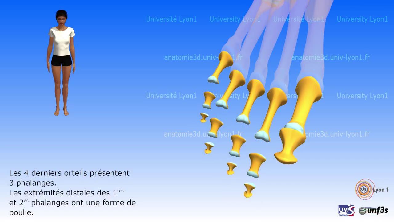 Anatomie Du Pied 3D le pied. ostéologie - youtube