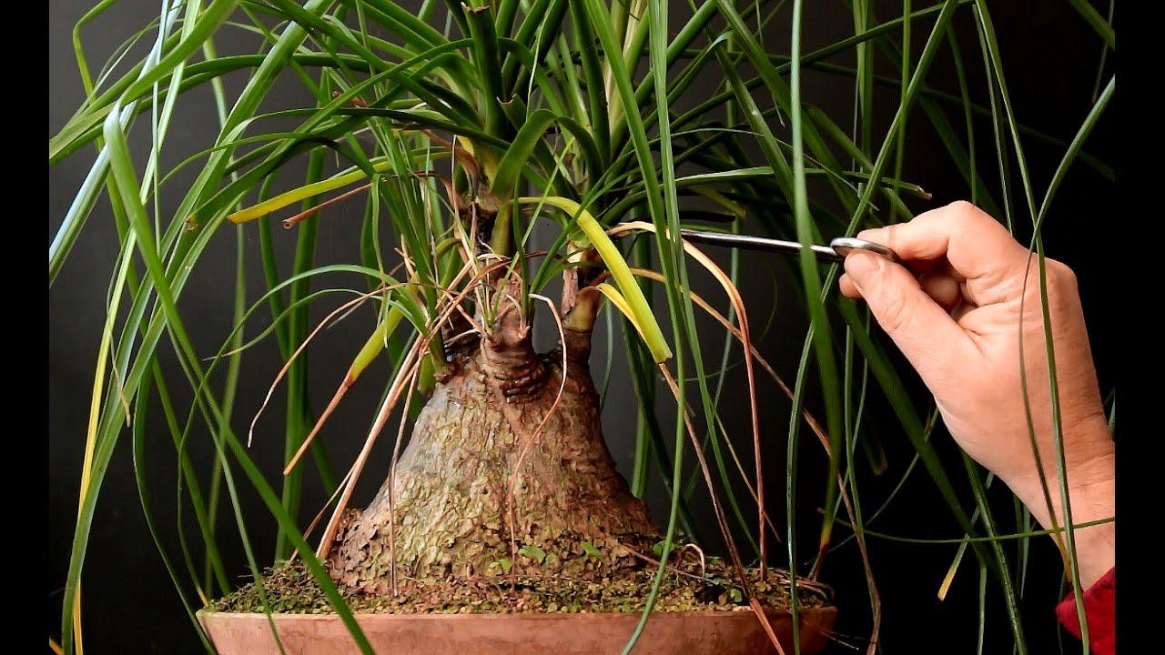 Ponytail Palm Bonsai Oct 2016 Youtube