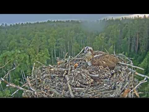 Estonia 1 ospreys 7 3 16 1220pm VERY BAD STORM Mai had a hard time staying on nest