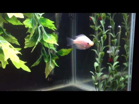 Kissing Gourami Care Guide, These Fish Grow Large