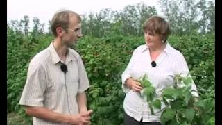 Ремонтантная малина. Особенности ухода(Видео подготовлено садовым центром Greensad по материалам передачи