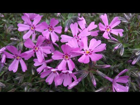 Флокс шиловидный. Цветение в начале мая. Стрижка после зимы. Черенкование. 🌱🌱🌱Посадка анемоны.