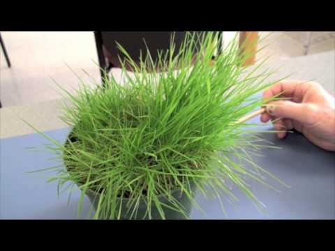 Cool Season Turfgrasses - Part 2