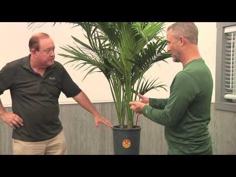 Plantz Profile Kentia Palm