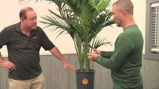 Plantz Profile Kentia Palm