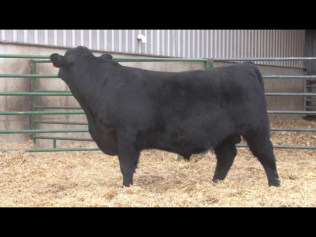 Schiefelbein Angus Farms Lot 359