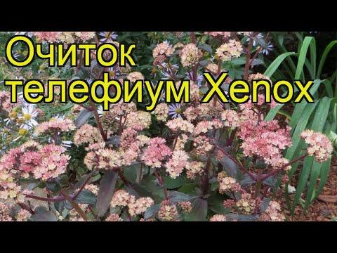 Очиток телефиум Ксенокс. Краткий обзор, описание характеристик sedum telephium Xenox