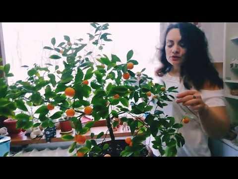 Мой урожай каламондина: пробуем на вкус