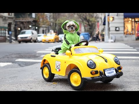 New York Dog Has $1,500 Luxury Car Collection: CUTE AS FLUFF