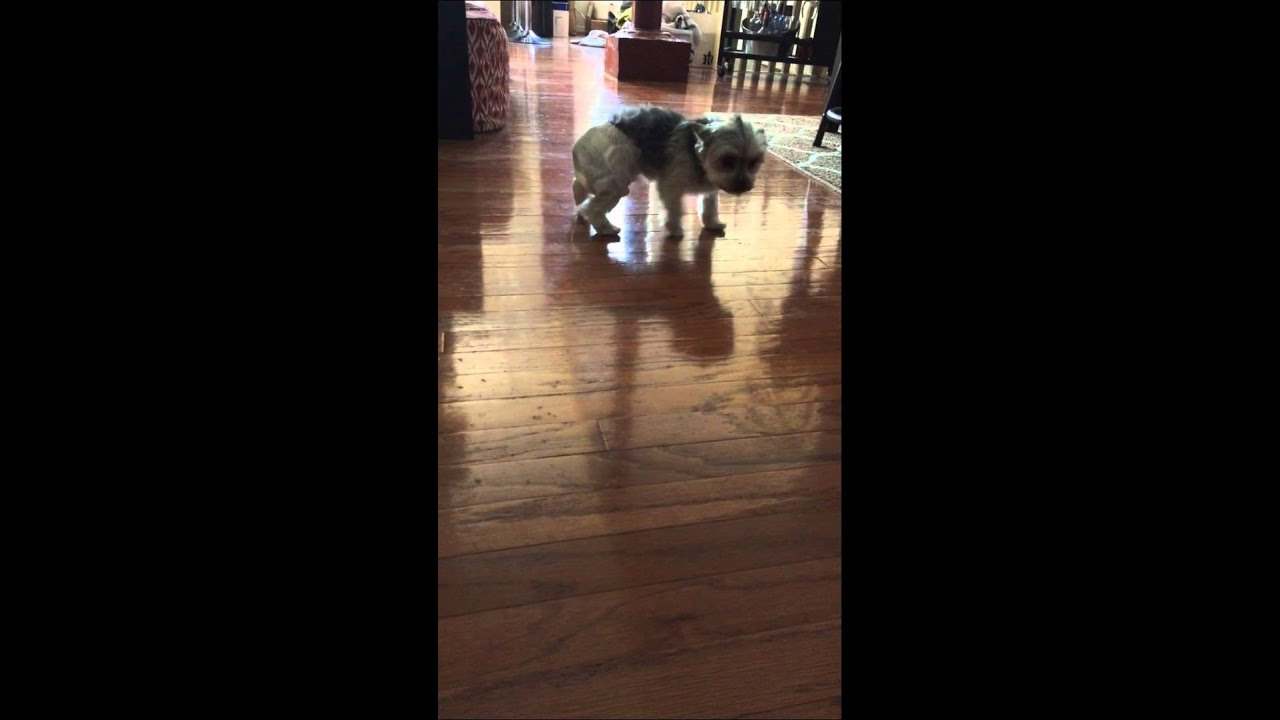 Yorkie In Diaper Cant Walk Youtube
