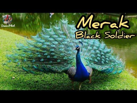 Burung Merak Black Solder