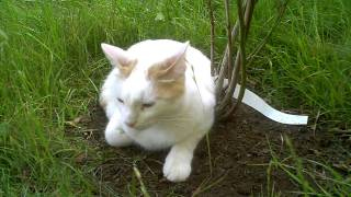 Whitey & Thor: Cat relaxing in grass, later to hunt and run to another cat to play with.