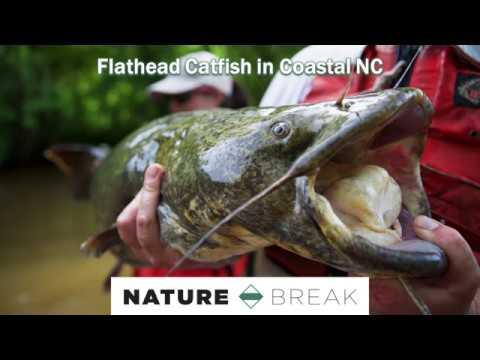 Flathead Catfish In Coastal NC