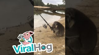 Koala Goes Fishing || ViralHog