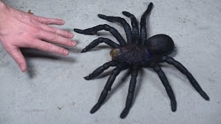 WORLD'S LARGEST TARANTULA!