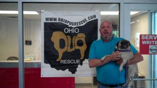 Ohio Pug Rescue At Busam Nissan's Doggy Days