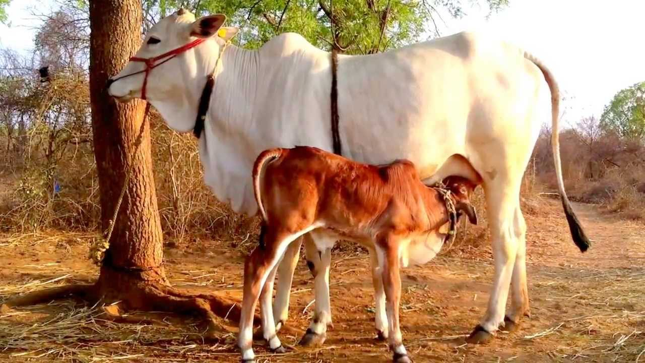 ongole cow u0026 calf youtube