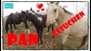 PAN unser Curly Fohlen besuchen ❤️❤️  |  Pferde Hoschi