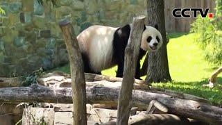 中美大熊猫保护研究合作延期三年 |《中国新闻》CCTV中文国际 - YouTube