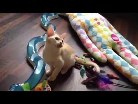 Burmese kittens games JASPER European burmese cattery