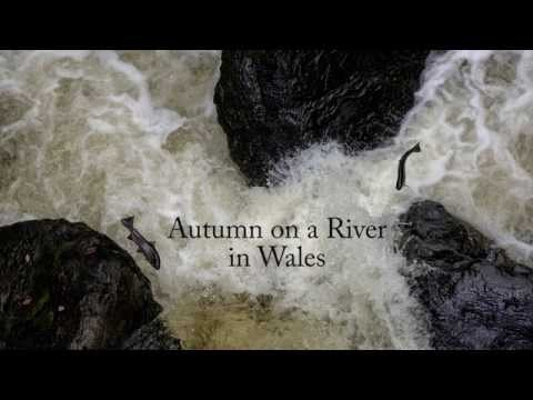 The Salmon Run on a River in Wales