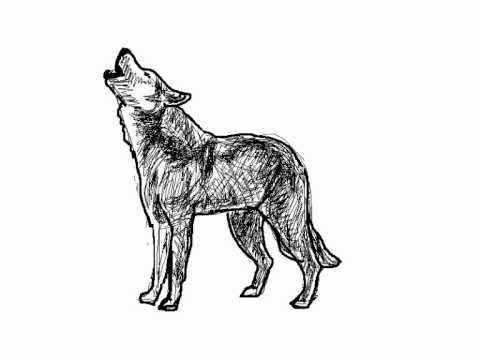 Como dibujar un lobo aullando paso a paso  Dibujos de animales