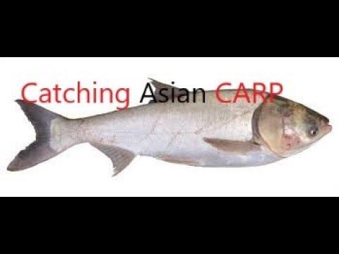 Catching asian carp