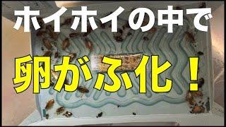 ゴキブリホイホイの中で卵がふ化...  キモい! 【最強キモ映像】 thumbnail