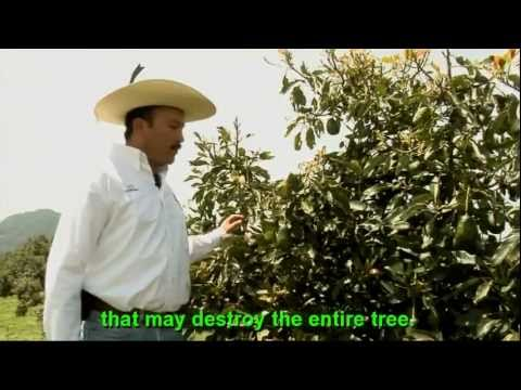 Mexico:  Avocado in Michoacan: An Economic Hit and Environmental Cost