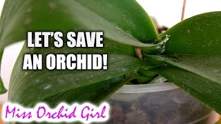 Saving Orchid from root rot, dehydration and mealy bugs