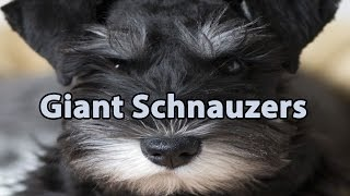The Right Companion: Giant Schnauzer