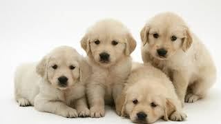 Puppy For Sale | Puppies For Sale Lab | Golden Retriever Puppies For Sale