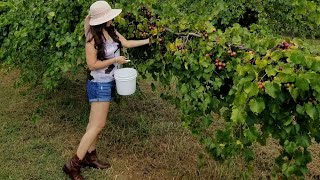 Picking Muscadines and Scuppernogs at Georgia U-Pick Farm