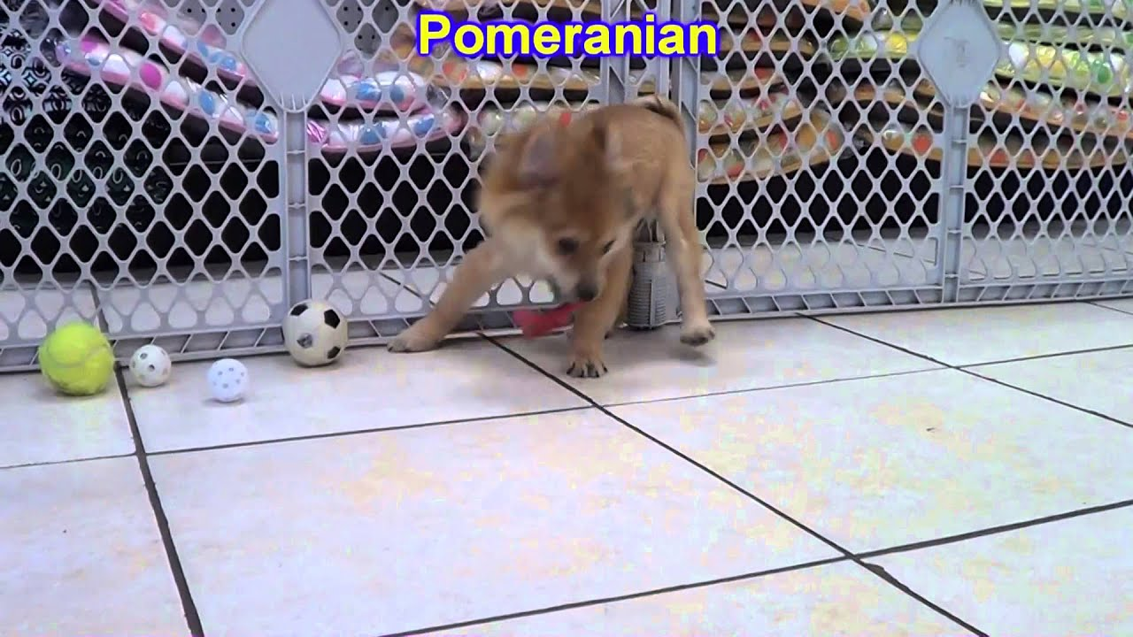 pomeranian puppies for sale in michigan ebay pomeranian puppies dogs for sale in denver colorado 4643