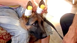 Как ПОСТАВИТЬ УШИ щенку немецкой овчарки. Sticking German Shepherd puppy ears.Одесса.(Берем поролон, вырезаем формочку по размеру уха.Закрепляем тканевым пластырем начиная с нижней част уха.За..., 2014-09-06T19:56:18.000Z)